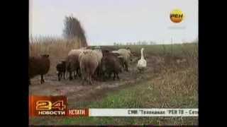 Гусь пастух пасёт овец