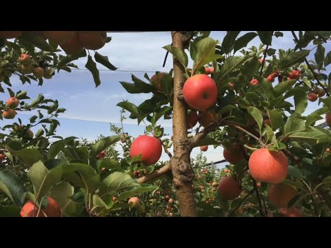 Tree To Table | Coming Soon: Pink Lady Apple Harvest 2019