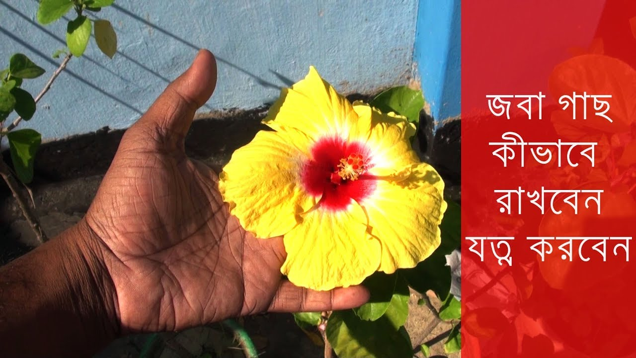 Joba Ful Hibiscus Care How To Care Hibiscus Plant Hibiscus Tree Care