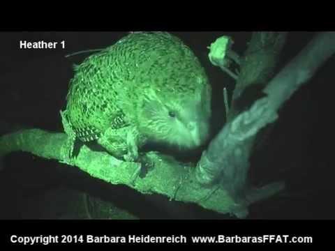 Kakapo Chick in Tree