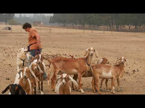 Sarika x Milan 2021 Litter - 8 Month Old Pups Meet the Goats