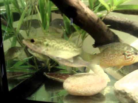 Acquario con pesci di lago youtube for Pesci di fiume