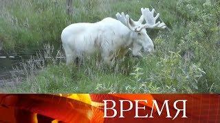 Необычного белого лося сняли навидео вШвеции.