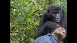 中央アフリカのゴリラ保護区に入ると、運よく私1人でした。 保護区には...