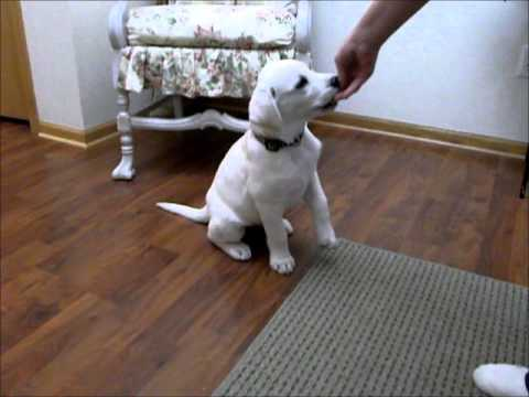Cute 11 week old white Lab puppy doing tricks - YouTube