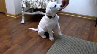 Cute 11 week old white Lab puppy doing tricks