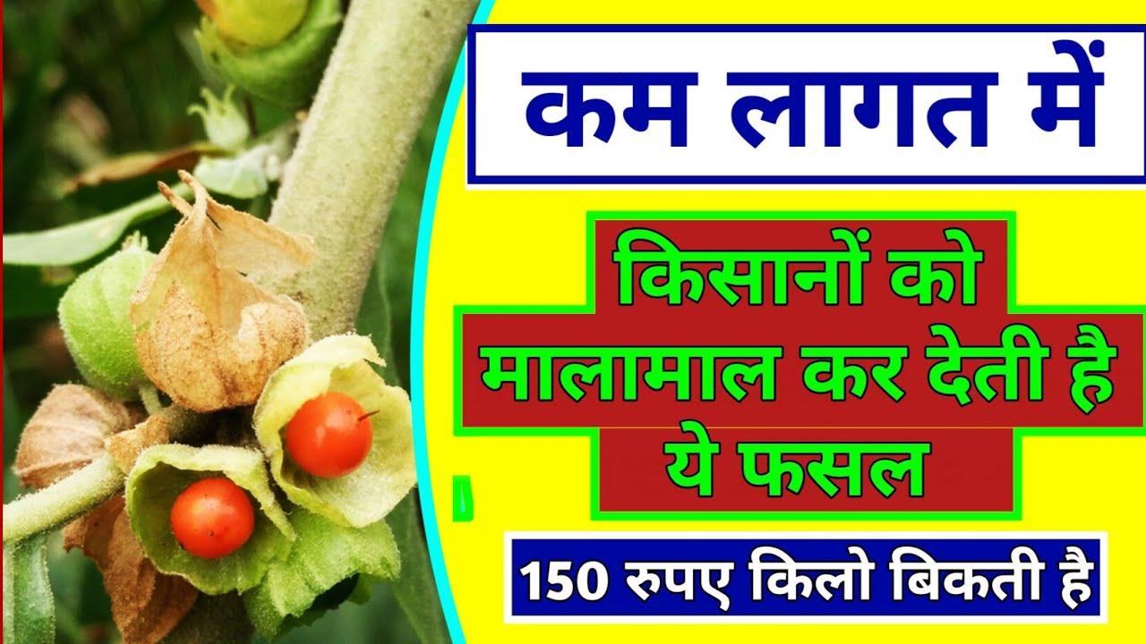 Commercial Cultivation of Ashwagandha |farming | Profitable farming | अश्वगंधा की खेती | #Kheti