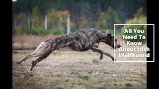 Irish Wolfhound ( All You Need To Know)