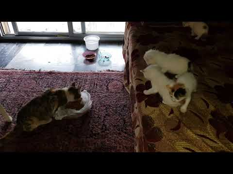 Five kittens crying for their mother while she is eating (super cute)