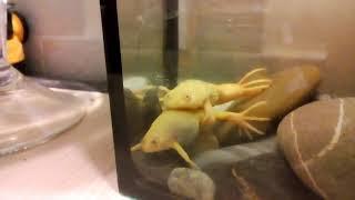 Шпорцевые лягушки. Размножение.