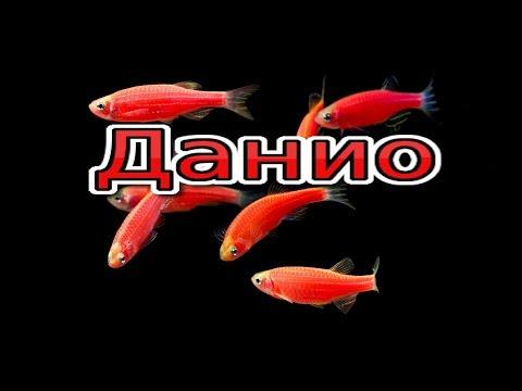 Данио розовые половые различия, подготовка к икромёту(Sex-related differences in zebrafish)