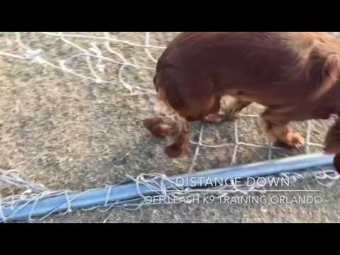 "8 mo old Irish Setter ""Anya""