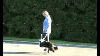 Flick Border Collie  - Obedience Training.