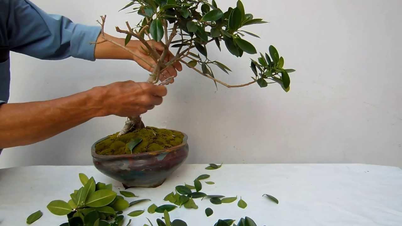 Poda De Un Ficus De Okinawa Youtube
