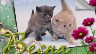 """Милые котята. Новая игрушка у котят. Питомник британских кошек """"House Arletta British"""""""