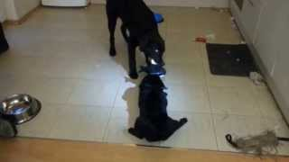 Pug Vs Labrador: Who Wil Get The Toy ?
