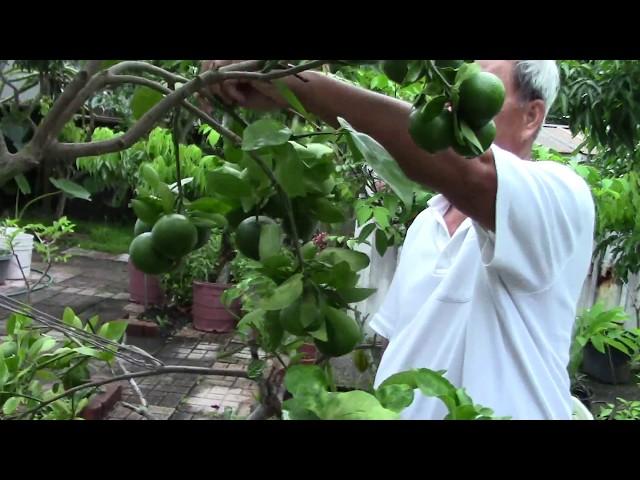 Quanh nhà ở Mỹ 24: Dạo vườn sau nhà, sang chậu cây MÃNG CẦU XIÊM, xem phong lan (Garden Tour)