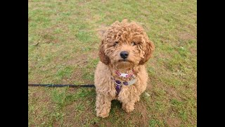 Bailey the 4 month old Cavapoo Puppy - 2 Weeks Residential Dog Training