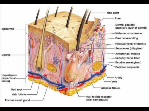 The Structure Of Human Ear Diagram Spotlight Wiring Holden Colorado Skin , Health Education Infection Control (icsp) Urdu / Hindi . Part 2 3 - Youtube