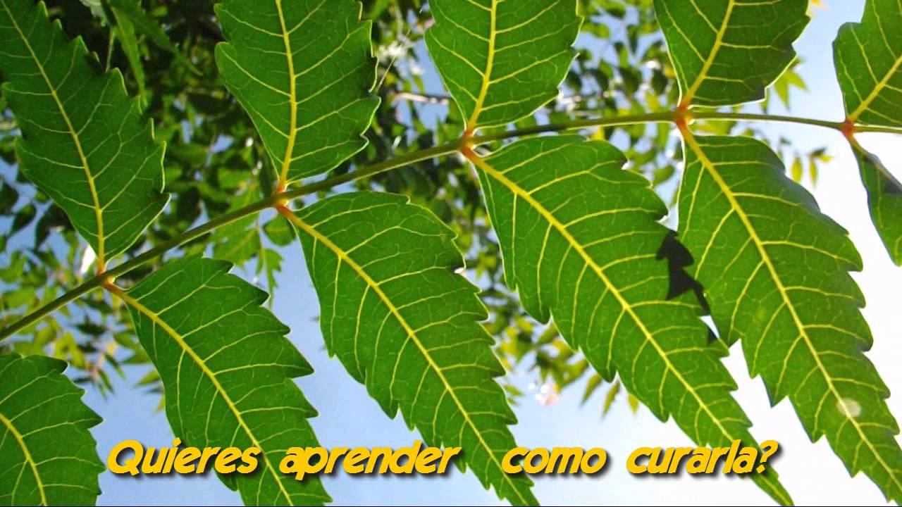 Arbol de neem que enfermedades cura