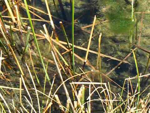 Amargosa Pupfish Video 2 14