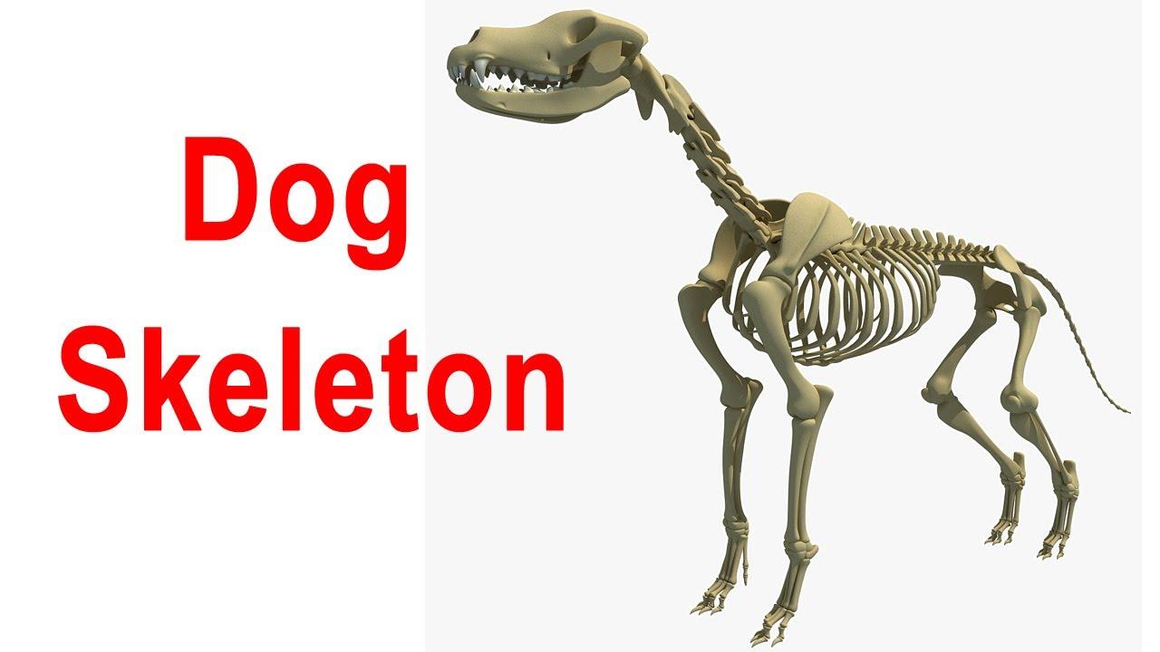 Dog Skeleton 3D Model - YouTube