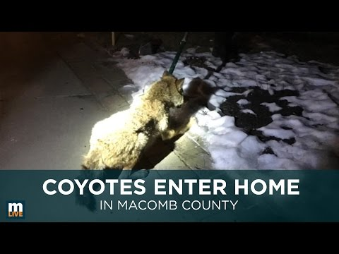 Coyotes enter home in Macomb County