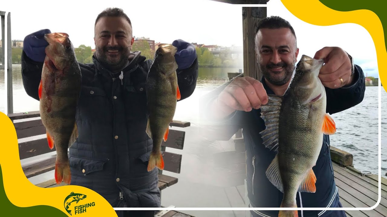 Download Fishing Abore (European perch) in Stockholm