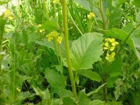 La mostaza una planta milagrosa con m ltiples propiedades y beneficios para la salud youtube - Como se planta el bambu ...