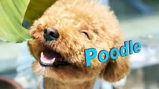 Poodle Dog Breed info.  How to Choose Dogs
