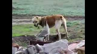 Гусь VS Собака