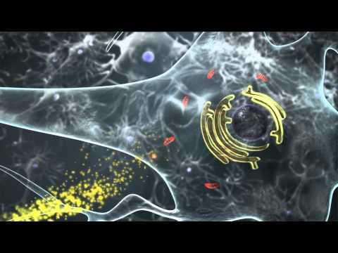Alteracions en les interaccions entre orgànuls dins les neurones provoquen obesitat