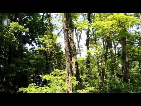 Useful tree -- Trnovník akát - Black locust - Robinia pseudoacacia