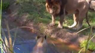 Lioness Takes A Dip