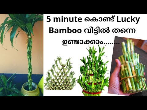 Lucky bamboo making at home/Propagation of lucky bamboo through cutting/Grow bamboo from cuttings
