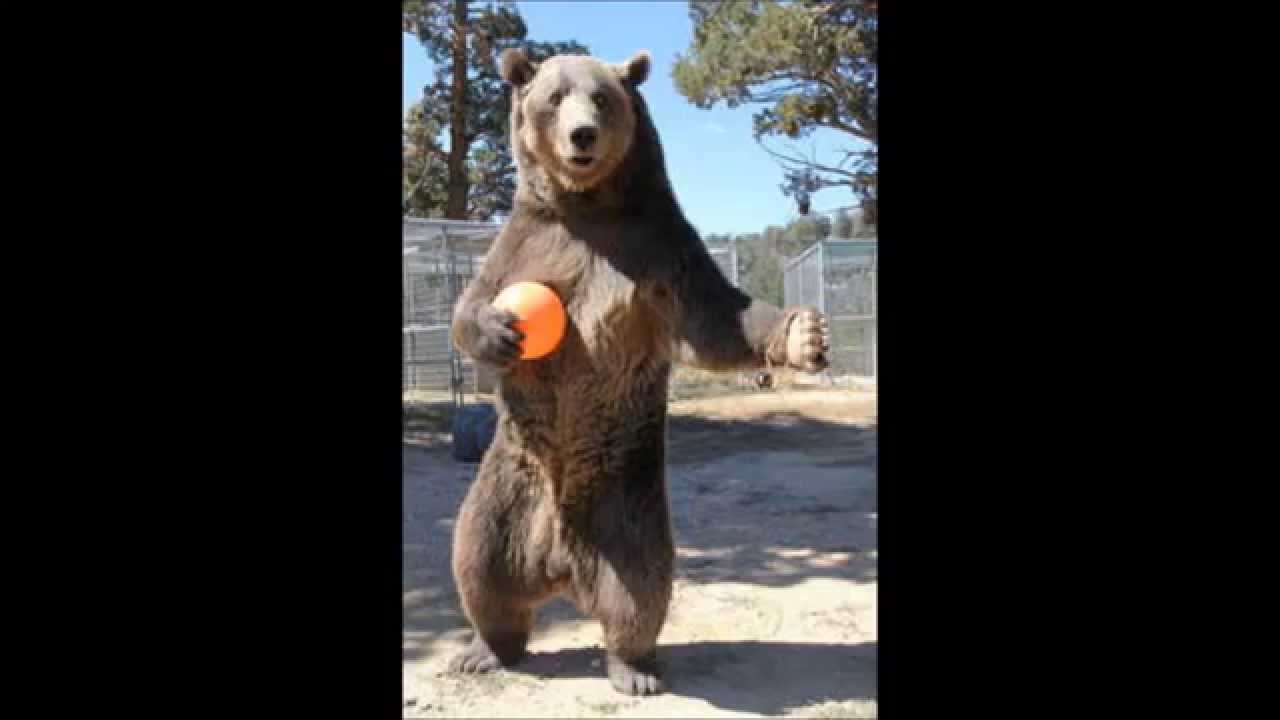 Animal attacks rocky the bear youtube animal attacks rocky the bear publicscrutiny Choice Image