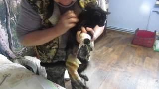 ЗИЗА: страшная рана у чудесной кошки... ❀ Лохматая Душа