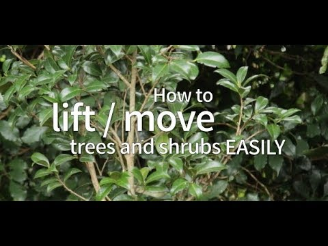 How to lift/move trees and shrubs easily