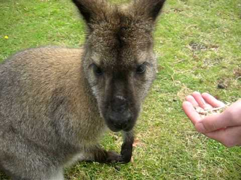Wallaby Eating from my Hand