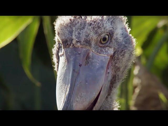 Shoebill Chick Reveals Darkside  – Africa – BBC