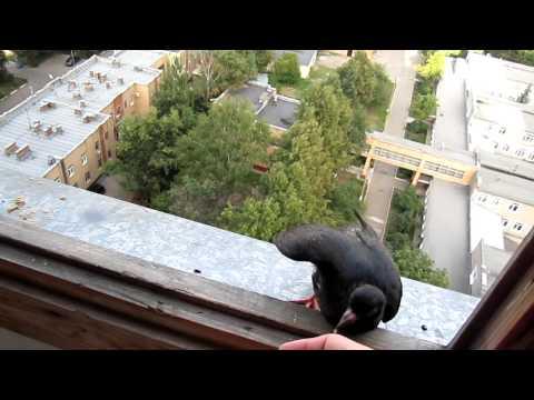 видео: смешной голубь