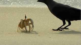 Краб с вороной