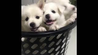 Japanese spitz puppies; cutie