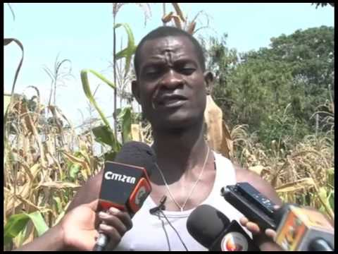 Research yields maize varieties resistant to stalk borer pest