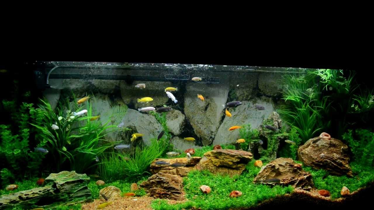 Aquarium: African Cichlids - YouTube