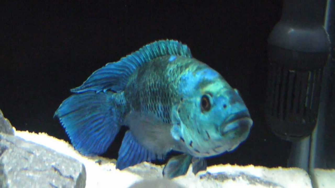 Electric blue jack dempsey Male and JD female pair in ...