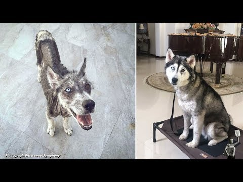 Rescued Husky Goes Through An Incredible Transformation In Just 8 Months