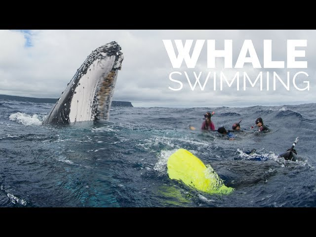 Swimming With Whales in Tonga: Quick Overview