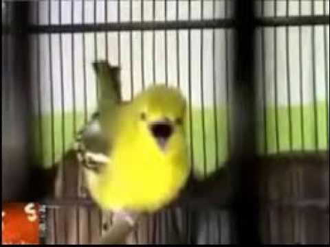 JOSS BRO !!!!! Masteran Burung Diku Durasi 19 Menit MANTAB untuk pancing CIBLEK, GEREJA, CIPOH SIRTU
