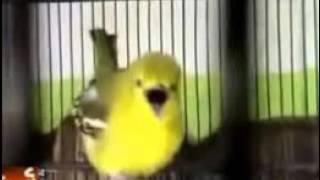 JOSS BRO !!!!! Masteran Burung Diku Durasi 19 Menit MANTAB untuk pancing CIBLEK, GEREJA, CIPOH SIRTU Mp3